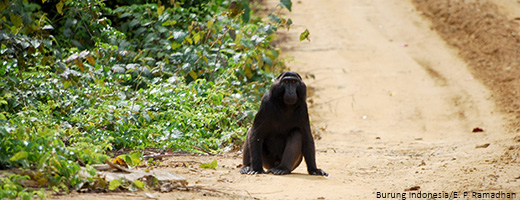The Heck´s Macaque is highly threatened by the loss of habitat.