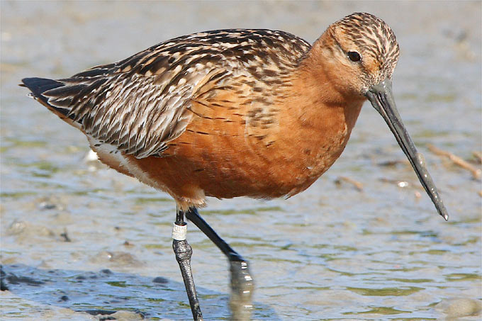 New report on the status of birds in the German Wadden Sea