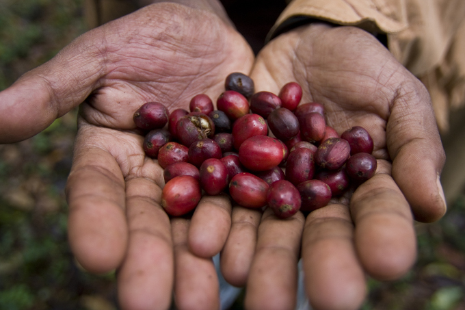 Wild Arabica coffee from Kafa's forests