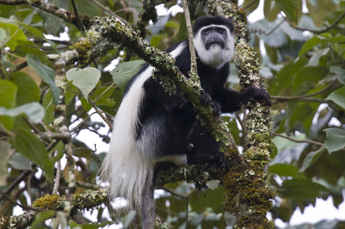 Black and white colobus monkey - Foto: Bruno D´Amicis