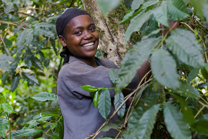Wild coffee harvest - photo: Angelika Berndt