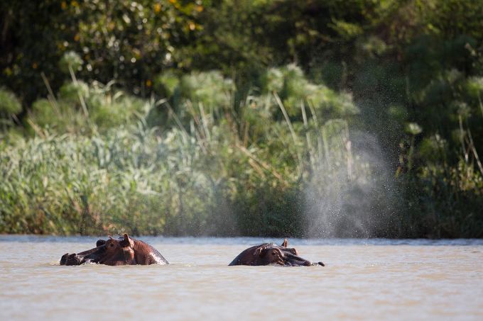 Hippos can be found all around Lake Tana, but until now, no one knew anything about population size - photo: Bruno D'Amicis