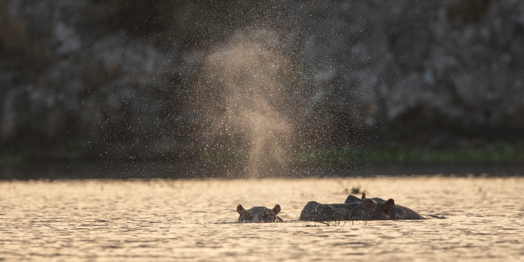 Hippos! The Lake Tana Watershed has a diverse wildlife - photo: Bruno D/'Amicis