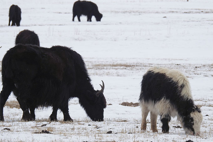 Grazing Yaks in winter