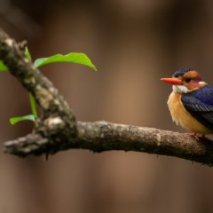 Malachite Kingfisher in Ethiopia - photo: Bruno D/'Amicis