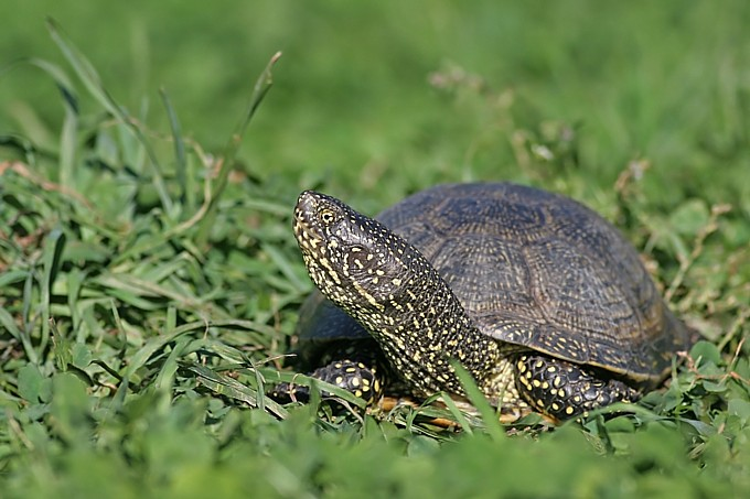 European pond turtle - Foto: Bärbel Rogoschik